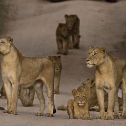 Africa- Lion Pride Rod Wyndham