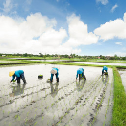 Bali- Balinese female farmers planting rice by hands