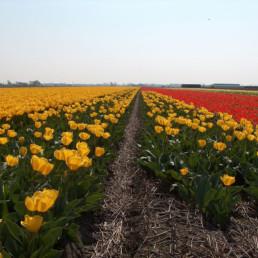 Netherlands- Nederland Tulpen