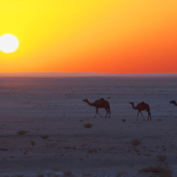 Oman- Camels at sunset