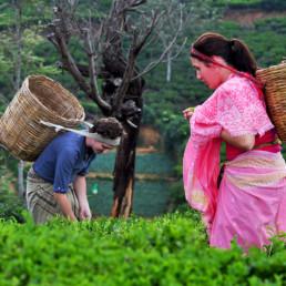 Sri Lanka heritance tea factory experiences tea plucking
